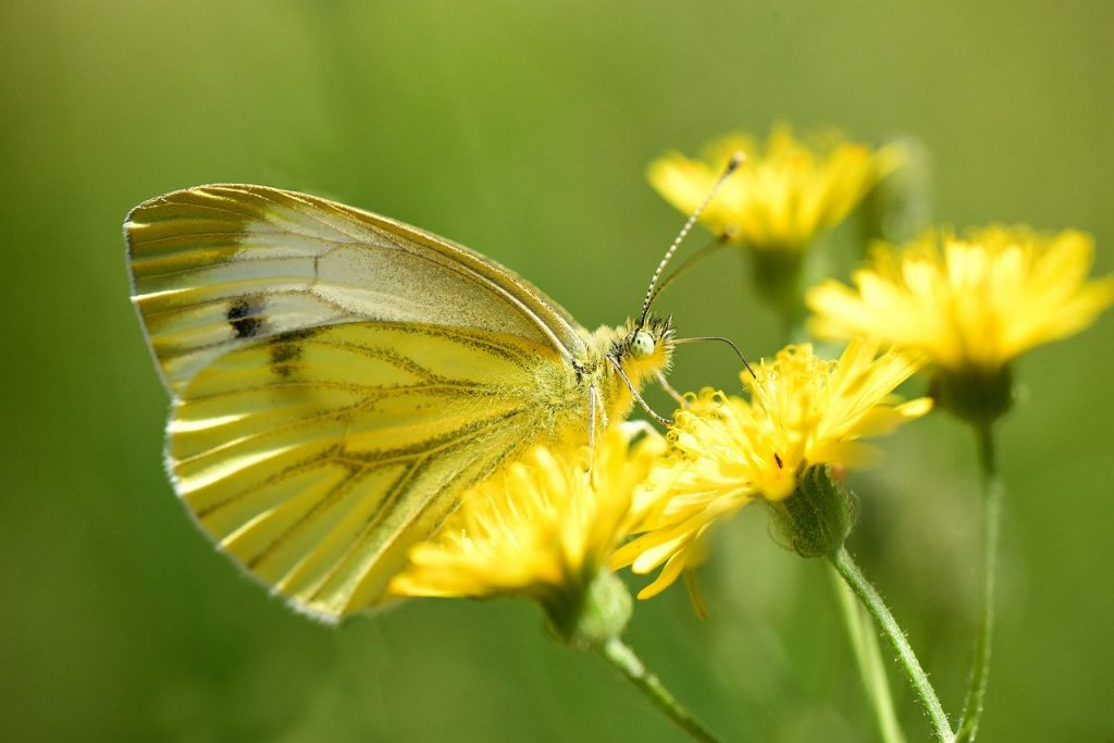 cabbage butterfly on flower